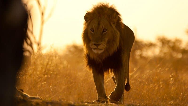 Cecil-The-Lion-Teaches-Online-Reputation-Management